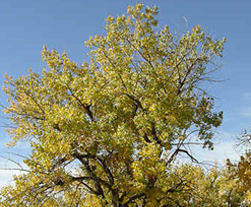 Photo of Black Cottonwood