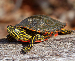Photo of Painted Turtle