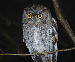 Photo of Western Screech Owl