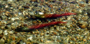 Photo of Kokanee in Mission Creek